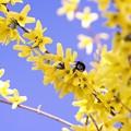 写真: サッポロ花便り/春空とレンギョウと・・・