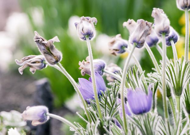 写真: 4月の庭/オキナグサ育つ