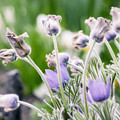 Photos: 4月の庭/オキナグサ育つ