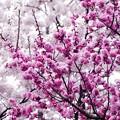 写真: サッポロ花便り/桜梅 咲き揃う