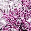 Photos: サッポロ花便り/桜梅 咲き揃う