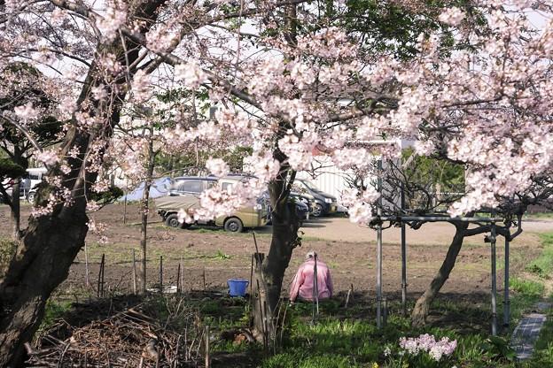 5月の午後・2018/桜と梅とピンクのジャージ