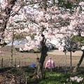 写真: 5月の午後・2018/桜と梅とピンクのジャージ