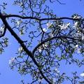 二律背反/青空と白い花「見上げれば北辛夷 三分咲きと北国の空」