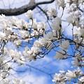 みどりの日の白木蓮