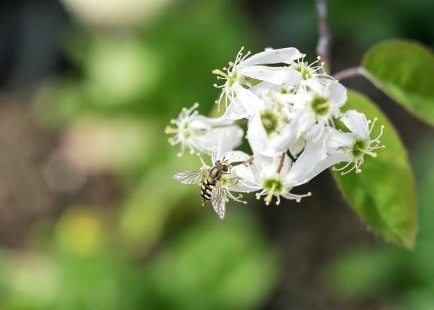 ジューンベリーの花とアブ b