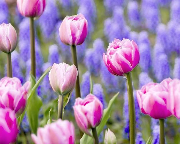 Electric-tulip 1