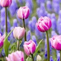 写真: Electric-tulip 1