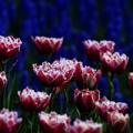 写真: Electric-tulip 3