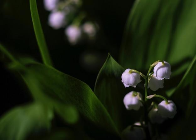 写真: サッポロ花便り/君影草咲く