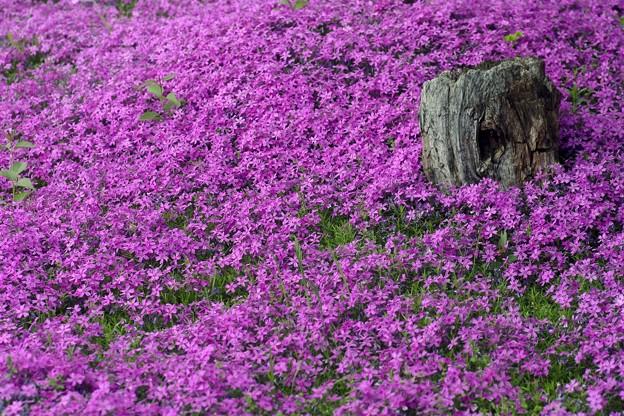 写真: シバザクラの庭
