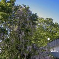 見上げるほどの藤の花