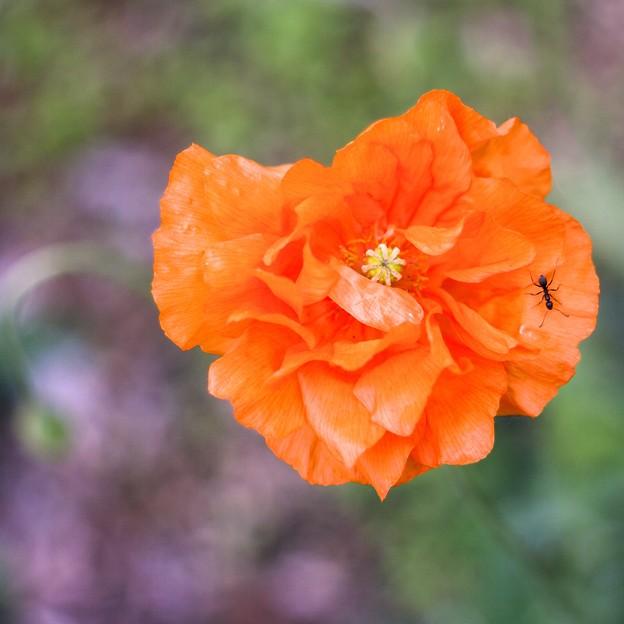 オレンジ色のケシ&アリ