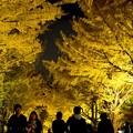 写真: 「デート・スポット・ライト」/北大銀杏並木