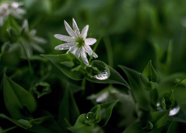 雨の日のシコタンハコベ  A-style