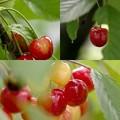 写真: 過日の果実/ふぞろいのサクランボたち