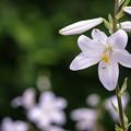 写真: 鎮魂の花/レクイエム