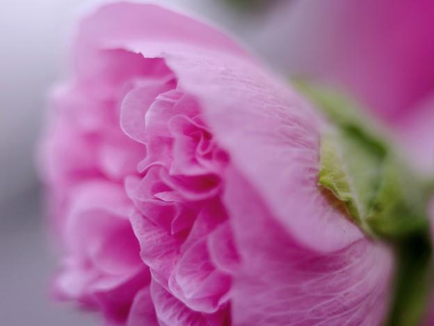 写真: ホリホック pink