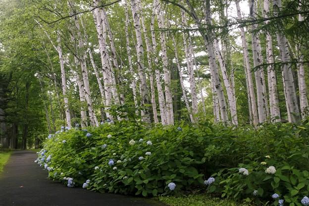 白樺並木/アジサイの咲くころ a