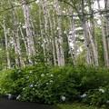 写真: 白樺並木/アジサイの咲くころ a
