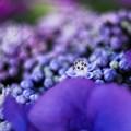 写真: アジサイの詩 close‐up
