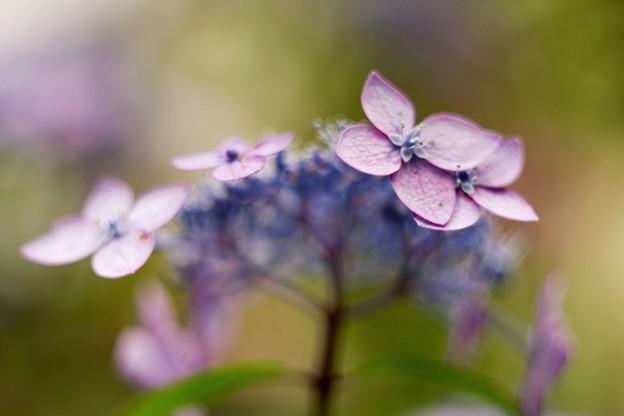 アジサイの詩 pink
