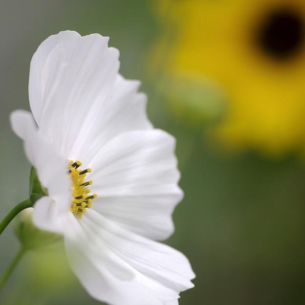 午後のコスモス ―White―