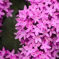 Photos: こぼれる ピンク