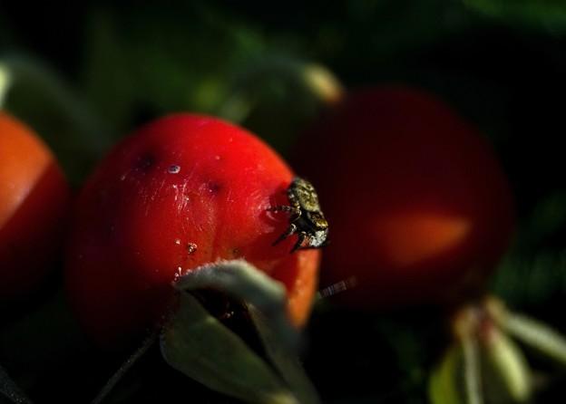 Photos: 過日の果実/収穫/蜘蛛と浜梨