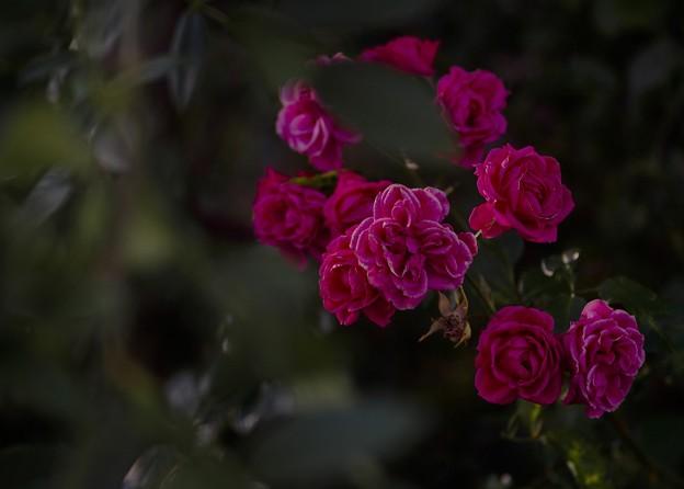 10月の庭/バラ 粛々と