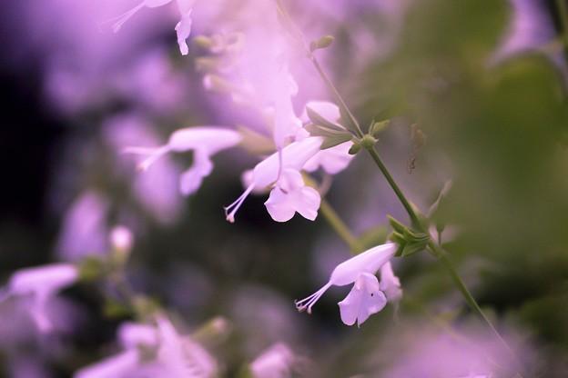 写真: Salvia collection 2