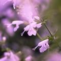 Salvia collection 2