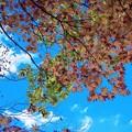 写真: 秋天モミジ