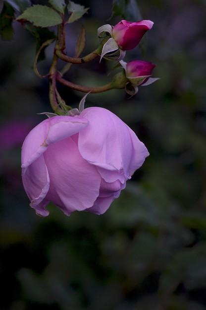 神無月の薔薇