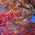 写真: 紅葉/三段モミジ