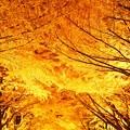 写真: Golden leaf