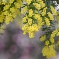 Photos: ミモザの季節/シンボルツリー