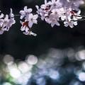 初桜 のようなもの