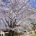 Photos: 平成お花見日和