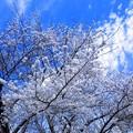 姥桜と平成の青い空