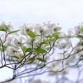 白い総苞たち/ハナミズキ