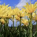Blue sky & Yellow tulips
