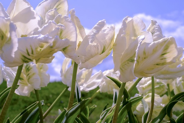 Blue sky & Spotted tulips