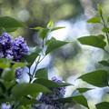 ライラックの花、香る