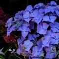 Photos: 5月のガーデンショップ/紫陽花 30%off