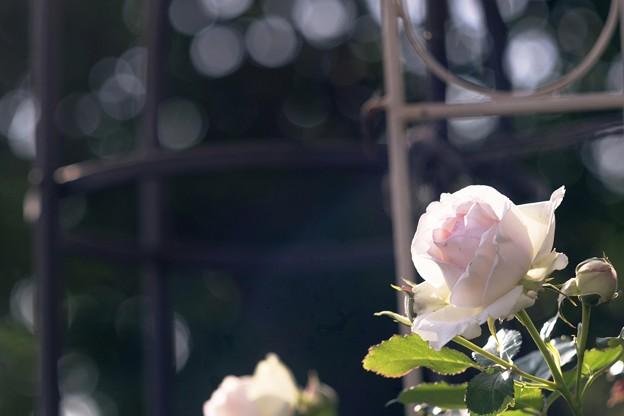 水無月の薔薇/斜光