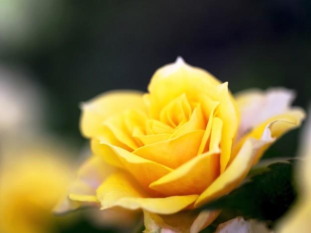 薔薇の季節 *****