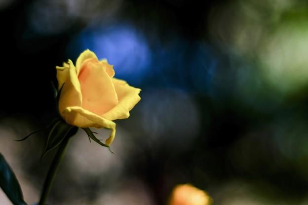 「夢を一輪の薔薇に代えて」