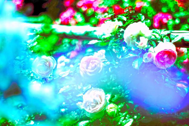 薔薇の苑 HDR風