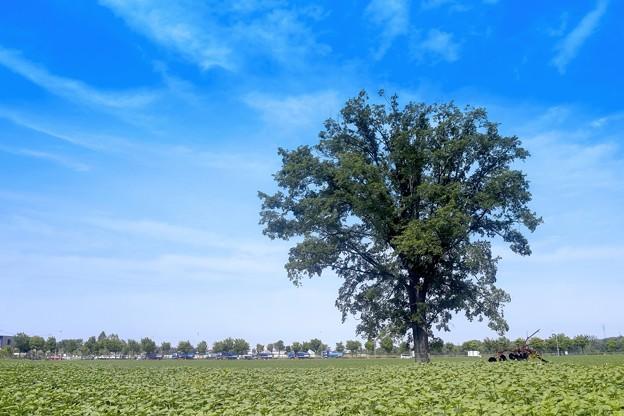「楡の木は残った」
